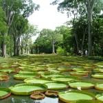 Nuferi giganţi în Grădina Botanică Pamplemousses