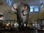 Elafantul de la intrarea în Muzeul de Istorie Naturală, Gothenburg