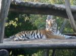 Tigrii sunt foarte activi la Grădina Zoologică din Viena