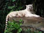 Tigru alb la Grădina Zoologică din Singapore
