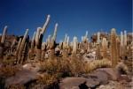 Această specie de cactuși este singura formă de vegetație care supraviețuiește aici