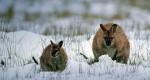 Cangurii, o prezenţă obişnuită în Tasmania
