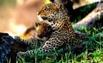 Gheparzi, Serengeti