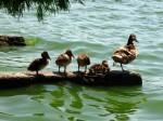 Lacul Herăstrău, dominat de prezența rațelor sălbatice