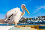 Pelicanul Petros