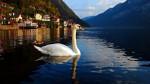 Chiar și lebedele au observat frumusețea locurilor și au ales să trăiscă în Hallstatt