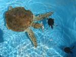 Broaște țestoase găzduite de Ferma de Broaște Țestoase din Caya Largo