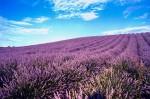 Lan de lavandă din Provence, Franța