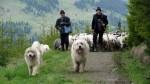 Locuitorii din Breb sunt harnici și zi de zi străbat împrejurimile pentru ca animalele lor să pască